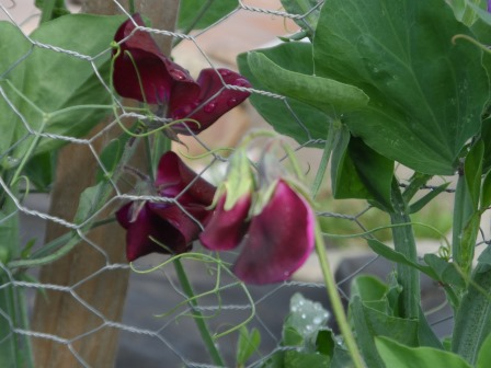 Different shades of sweet pea.