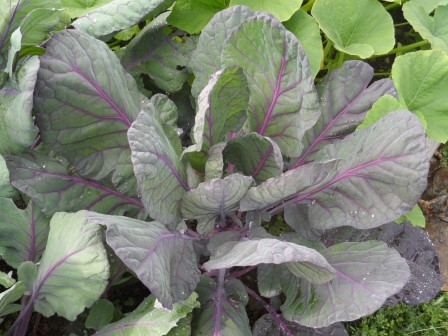 Brussels Sprouts' large purplish colored leaves.