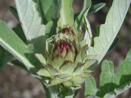 Artichoke up close.