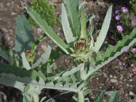 A few of the artichokes.