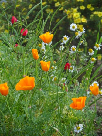 Orange wild poppies.