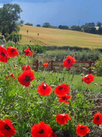 Poppies before the storm.