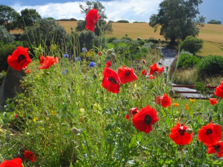 Lots of poppies in my wild-flower garden.