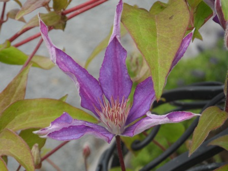 Late blooming clematis early in the season.