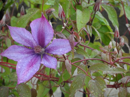 Clematis after some rain.