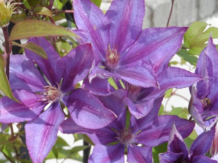 Clematis in full glory!
