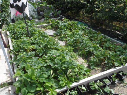 Strawberry bed at the end of the season.