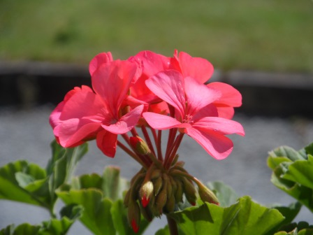 A geranium plant grown from seed.