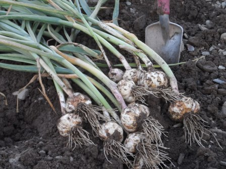 Freshly dug garlic.