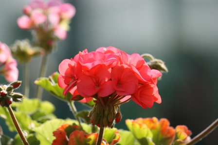 Old fashioned geranium