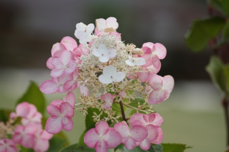 End of season Paniculata hydrangea with its new pink color.