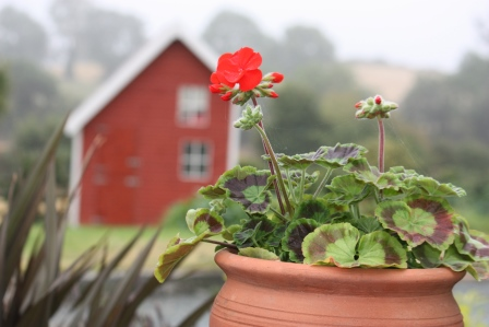 Geranium on a foggy morning.