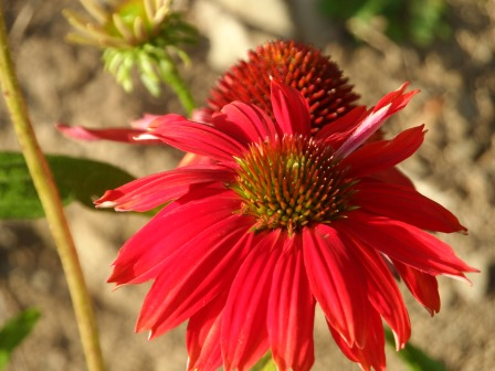 Echinacea Salsa Red