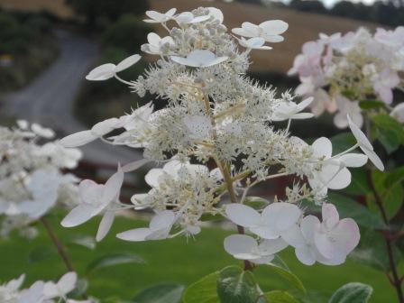 Paniculata hydrangea