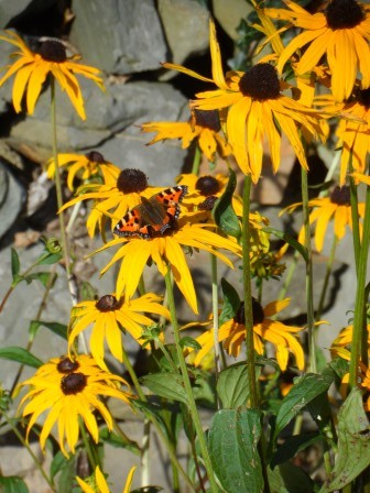 Butterfly enjoying the Black eyed Susan