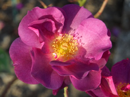 Floribunda rose Burgundy Ice