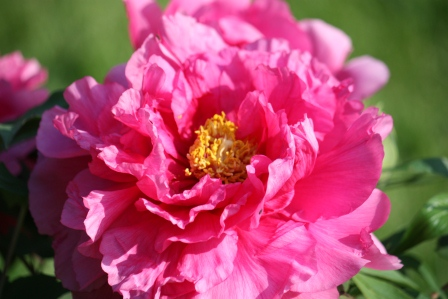 Pink Tree Peony flower.
