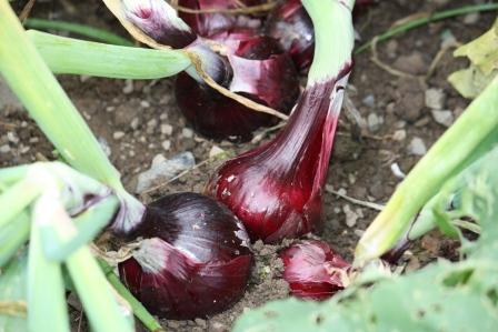 Red Robejla organic onions