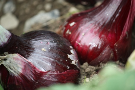 Red Robejla organic onion