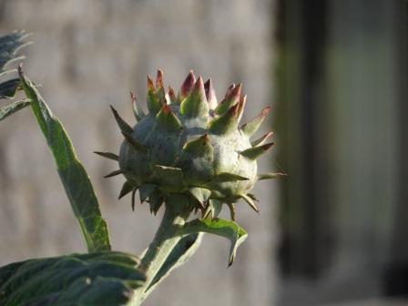 Globe artichoke Cynara Scolymus