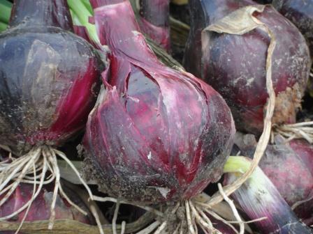 A nice size Robelja onion.