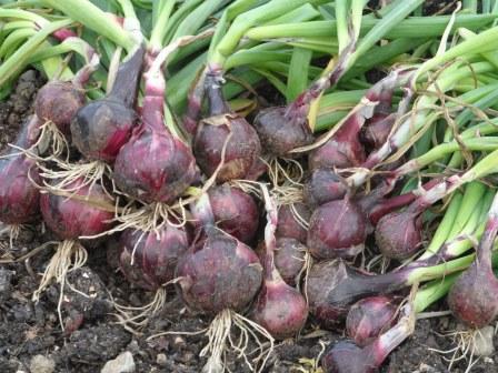 Red Robelja organic onions