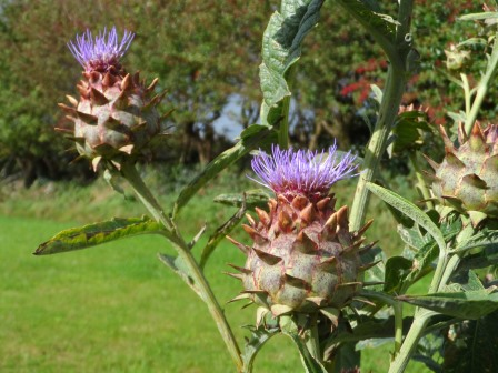 Globe artichoke Cynara Scolymus. Something interesting to look at.