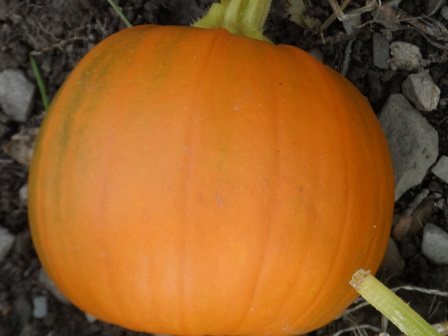 One orange pumpkin!