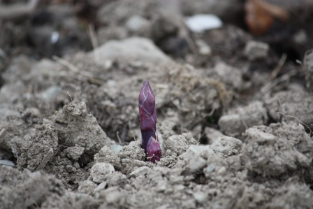Asparagus peeking through.