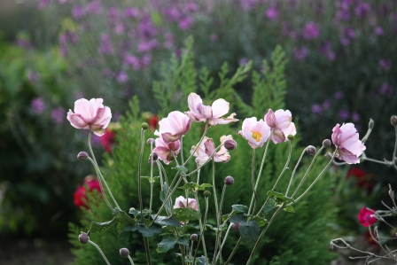Pink Japanese anemone with dahlia and Erysimum bowles' mauve in background.