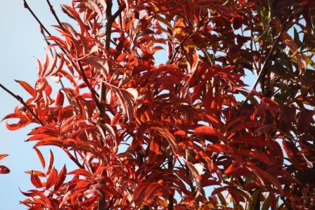 Rowan tree.