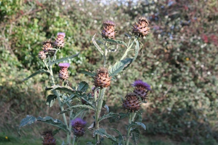 Globe artichoke flowers in November.