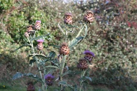 Globe artichoke flowers in November.