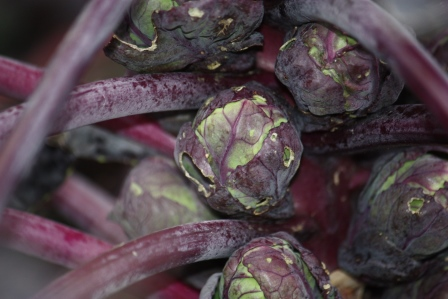 Organic Brussels Sprouts Rubine Red