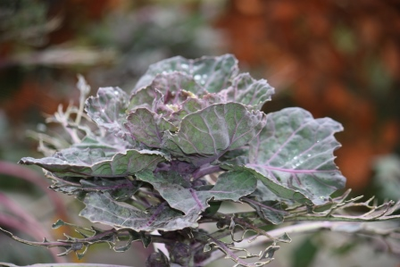 The top of a Brussels Sprout plant