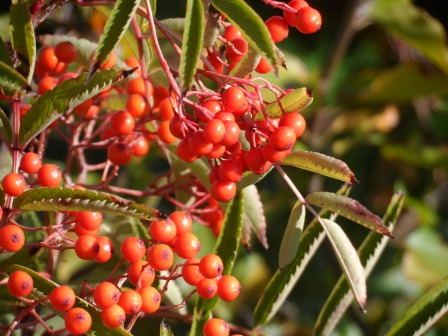 Rowan berries from October.