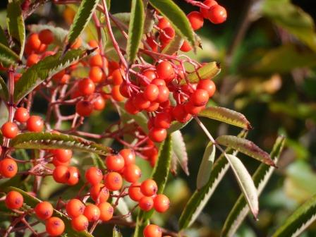 Rowan berries from October.