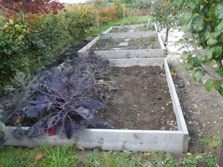 Organic Autumn Planting Garlic -  Vallelado planted next to the Brussels Sprouts.