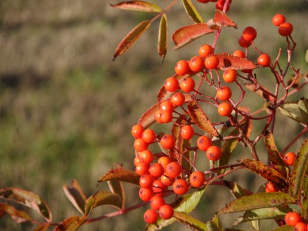 Rowan berries from November.