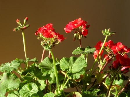Geraniums looking happier inside than they did outside!