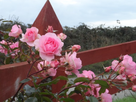 My roses at the front gate.