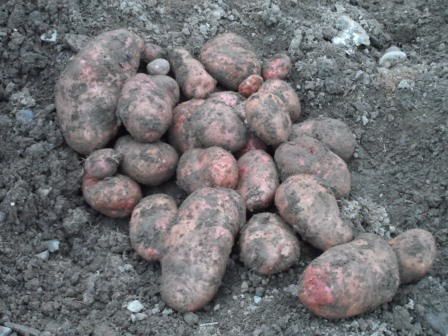 The last of the spuds (Sarpo Mira).
