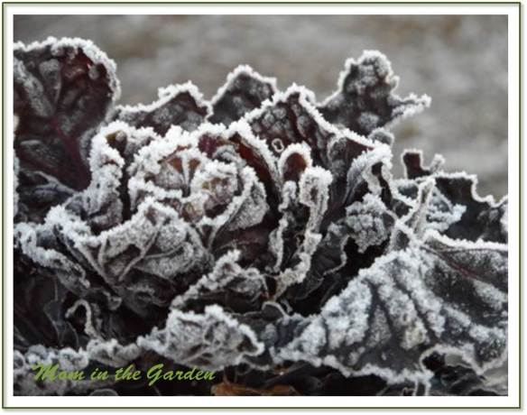 A touch of frost on the Rubine Red Organic Brussels Sprouts plant