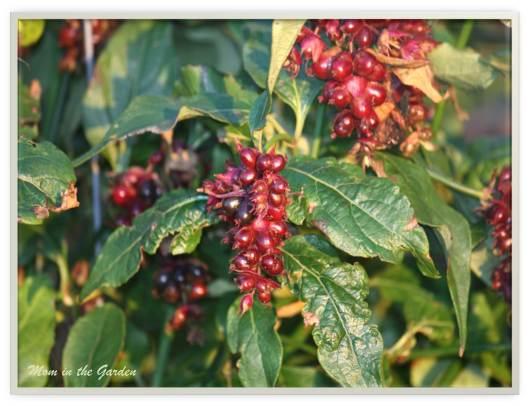 Berries late in season of Leycesteria formosa