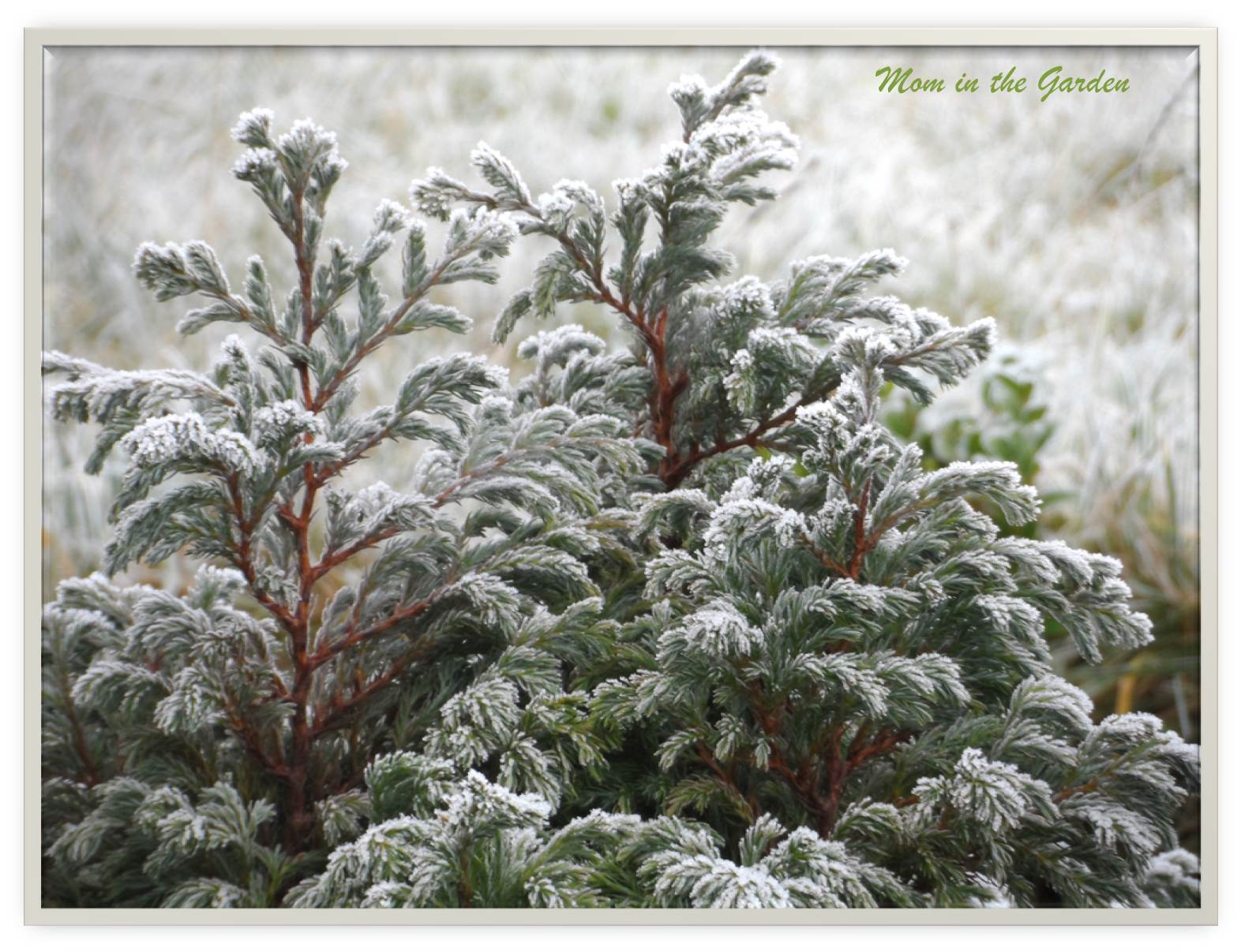 Frosty evergreen