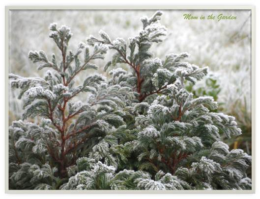Frosty evergreen