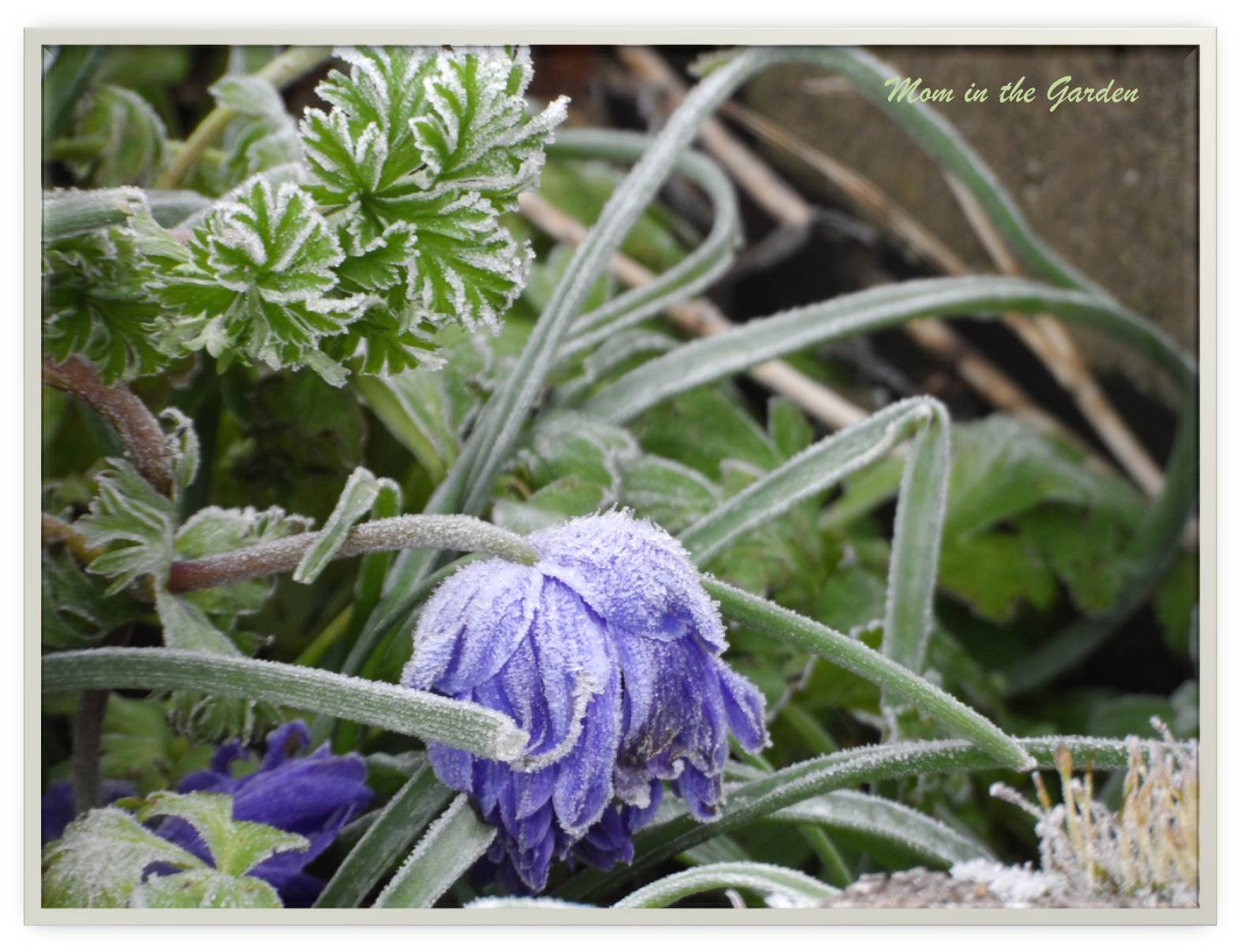 A frozen anemone