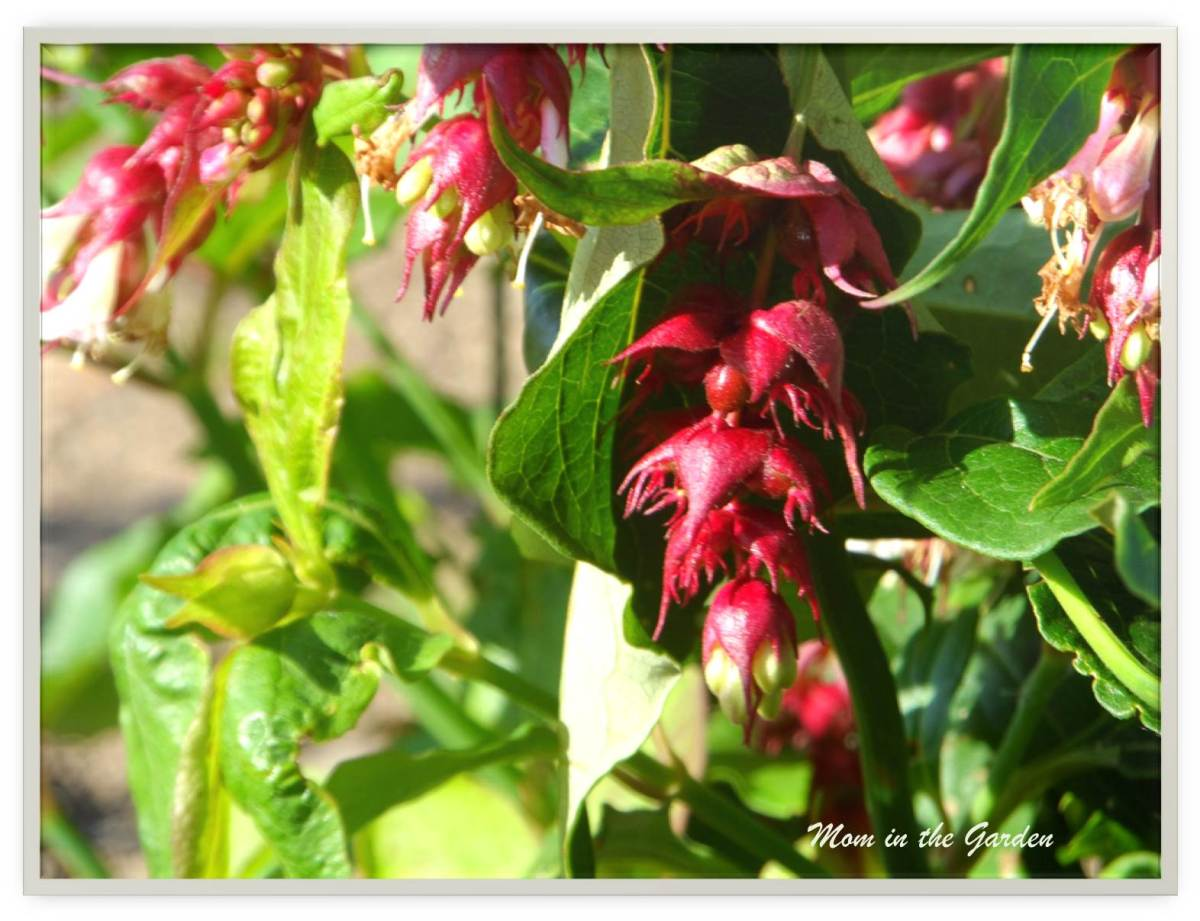 Character in the garden with Leycesteria formosa (Himalayan Honeysuckle)