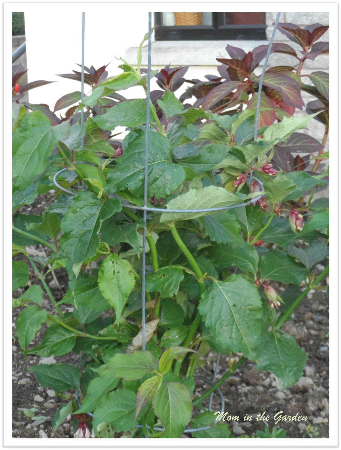 Leycesteria formosa supported