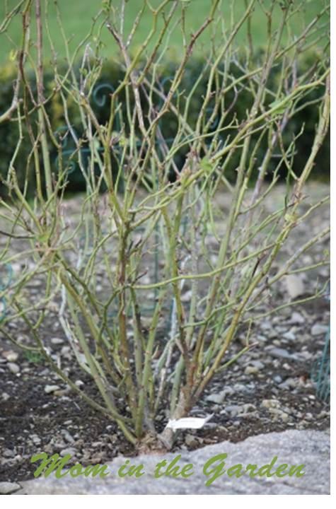 Rose bush before pruning